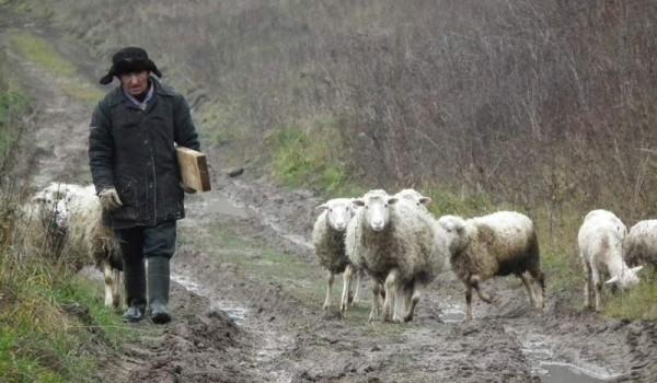 Это дядя Коля из Дубровки и его овечки. 2010 год.